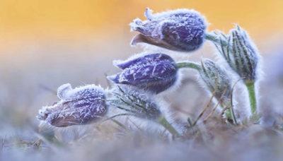 Flowers in frost